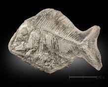Naturalia Fossilized fish Brasil.