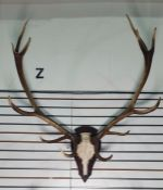 German 12-point red deer antlers mounted on shield-shaped wooden mount