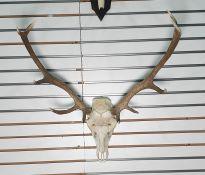 Ten-pointed red deer antlersmounted on skull