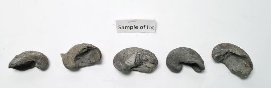 Approximately 44 Gryphaea or 'Devils Toenails', Jurassic period fossils found in the Severn