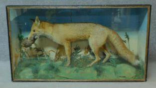 A glass cased Edwardian taxidermy fox with a red legged partridge in its mouth, in a naturalistic