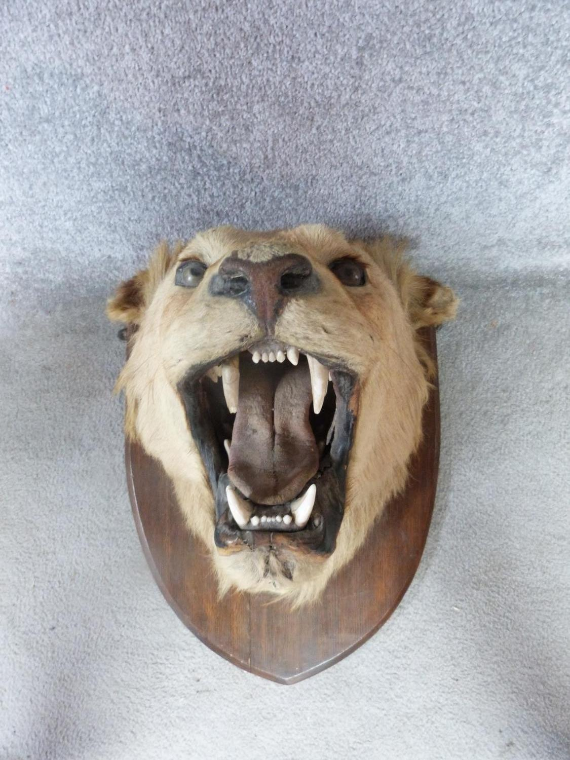 A pair of Victorian taxidermy Lion heads, one male and one female mounted on oak shields. One signed - Image 13 of 23