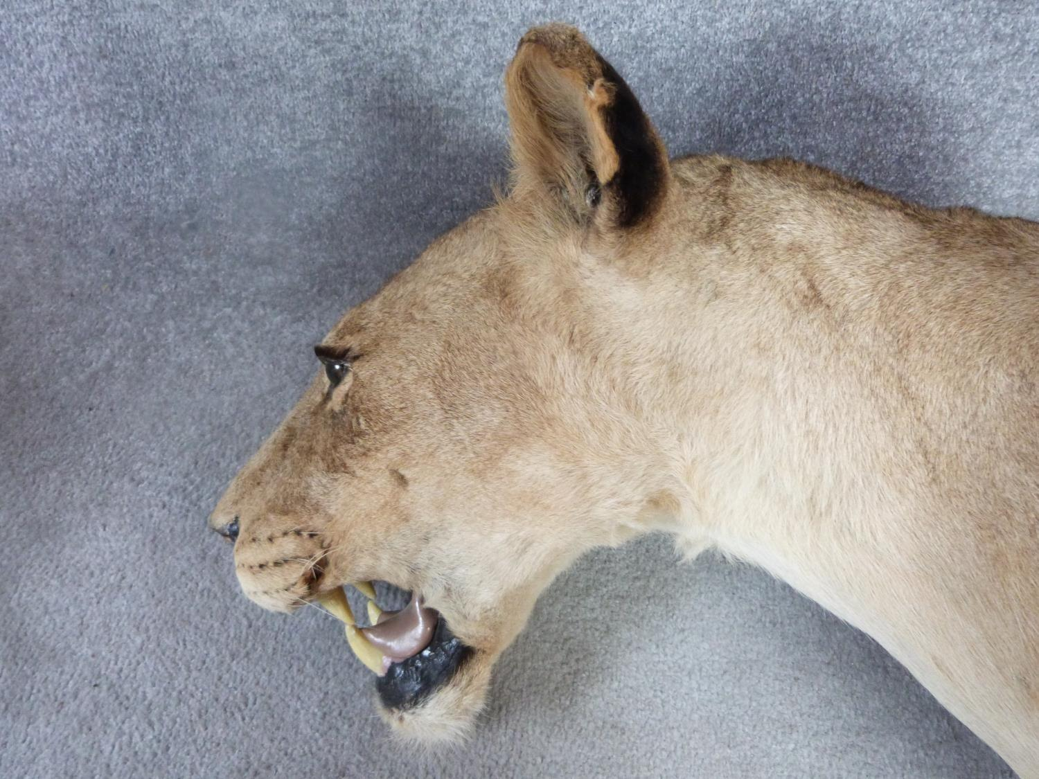 A pair of Victorian taxidermy Lion heads, one male and one female mounted on oak shields. One signed - Image 11 of 23