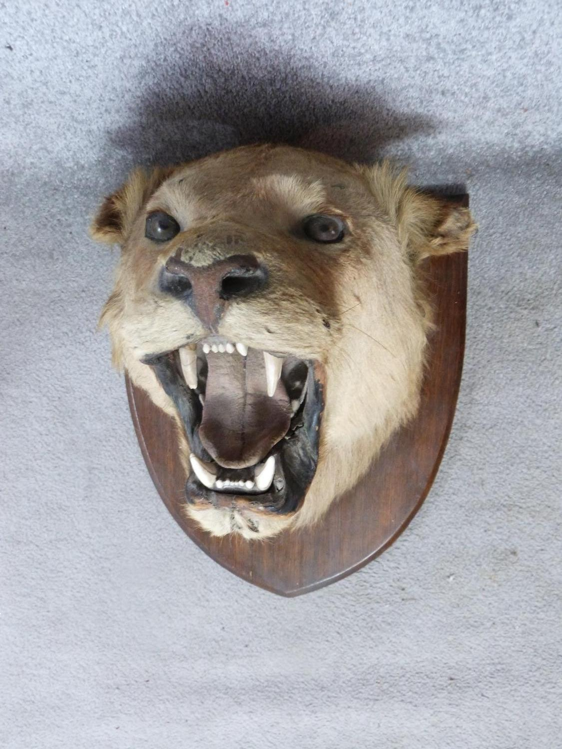 A pair of Victorian taxidermy Lion heads, one male and one female mounted on oak shields. One signed - Image 2 of 23