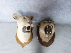 A pair of Victorian taxidermy Lion heads, one male and one female mounted on oak shields. One signed