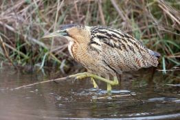 Spring Bird Song Walk – An early morning spring bird song walk in Walberswick for two people with