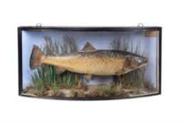 A late Victorian preserved Brown Trout
