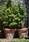 Two large camellia plants