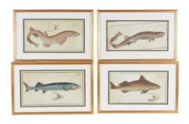 A set of eleven prints, natural history fish studies from an ichthyology folio