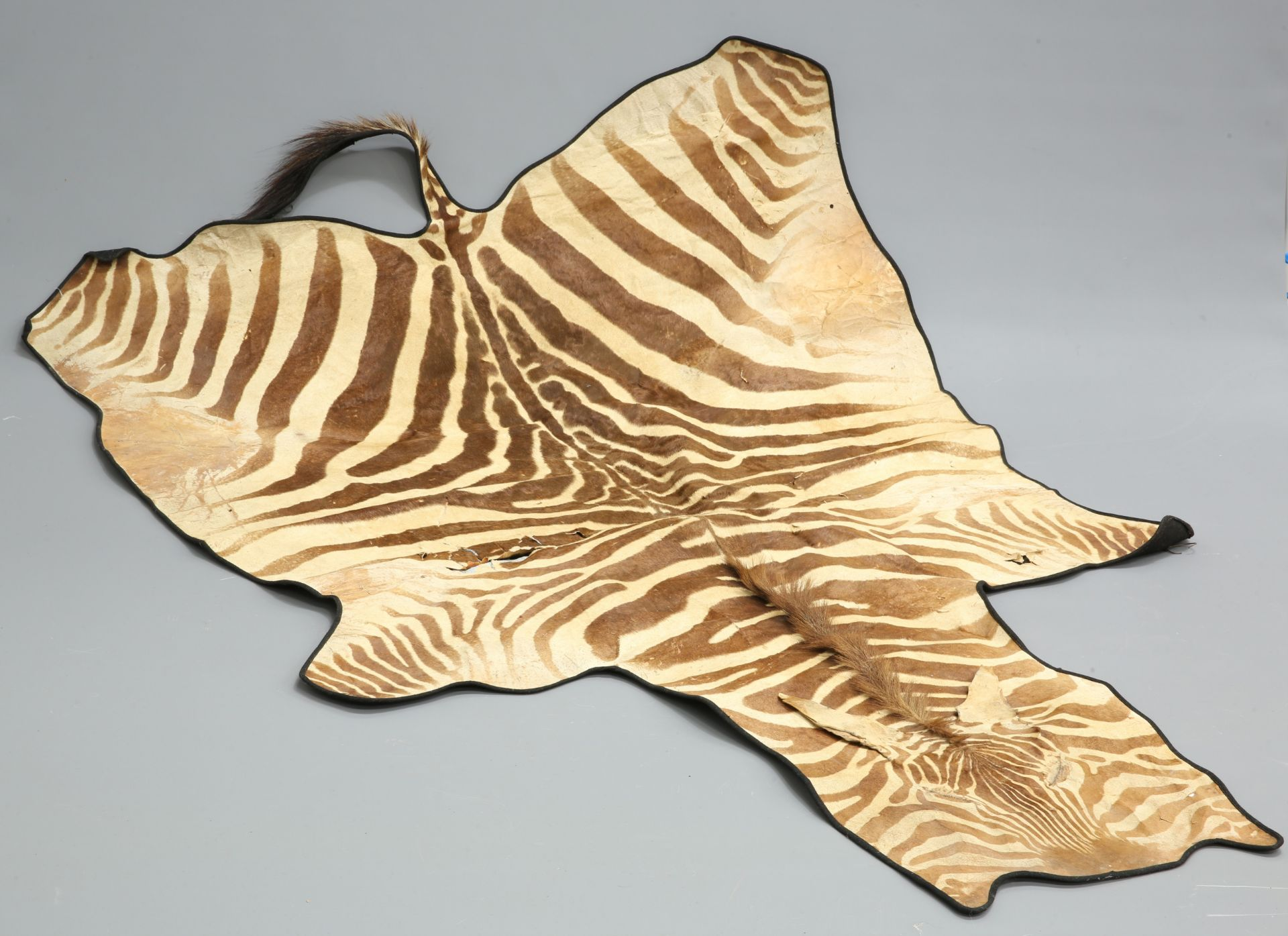 TAXIDERMY: BURCHELL'S ZEBRA FLAT SKIN RUG (EQUUS QUAGGA).250cm by 173cm (excluding tail)The absence