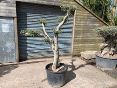 Palm Trees, Cast Iron Lamp Posts, Pizza Ovens, Brick Ovens, Mirrors, Gazebos, Stags, Olive Trees, Garden Furniture & Much More