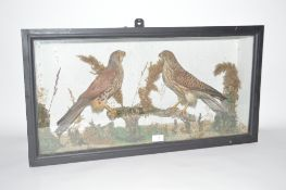A Taxidermy arrangement of a male and female Kestr