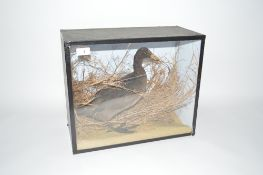 A Taxidermy arrangement of a bird amongst foliage, in glazed case, 14.5ins x 17.5ins a