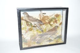 A cased Taxidermy arrangement of a sparrow hawk and