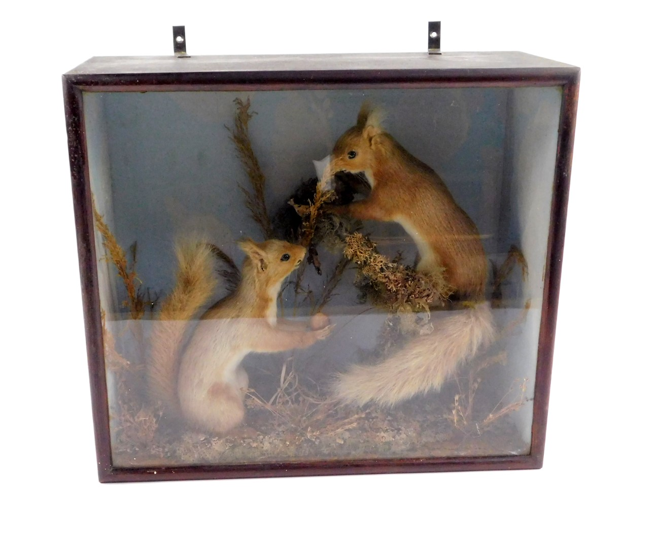 Lot 20 - Taxidermy. A pair of red squirrels, one holding a nut, on a naturalistic ground, cased, 38cm H, 43.