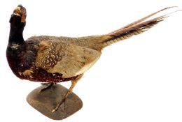 A 20thC taxidermied cock pheasant, by P Mercha, Uppingham, on shaped base, 37cm high, with label.