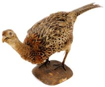 A 20thC taxidermied pheasant, by P Mercha, Uppingham, on shaped base, 25cm high, with label.