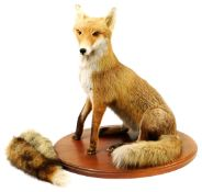 A 20thC taxidermied fox, in seated pose on an oval oak base, with two extra brushes, unmarked, 64cm