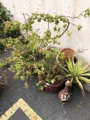 Collection of of six pots with plants (Vine) and a small chimnea