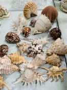 Large collection of sea shells including: ramose murex; cowry; conche; sea urchins.