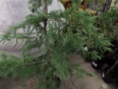 10 green Leylandii approx 5-6ft PRICE PER PLANT NOT PER LOT