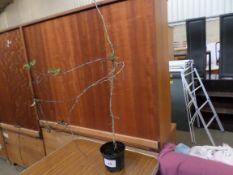 10 strong container grown thorn hedging PRICE PER PLANT NOT PER LOT