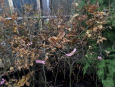 10 Beech for hedging or trees, approx 3ft PRICE PER PLANT NOT PER LOT