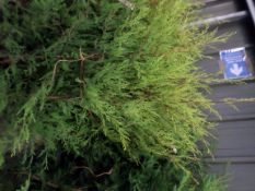 10 x golden Leylandii approx 3ft PRICE PER PLANT NOT PER LOT