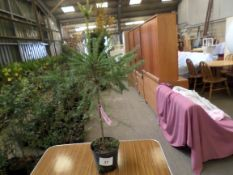 10 Christmas trees PRICE PER PLANT NOT PER LOT