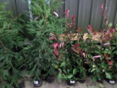 10 x green Leylandii approx 4ft PRICE PER PLANT NOT PER LOT