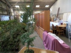 10 English yew PRICE PER PLANT NOT PER LOT