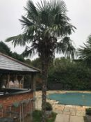 1 x Palm Tree - Approx 6-Metres in Height - Ref: JB159 - Pre-Owned - NO VAT ON THE HAMMER - CL574 -
