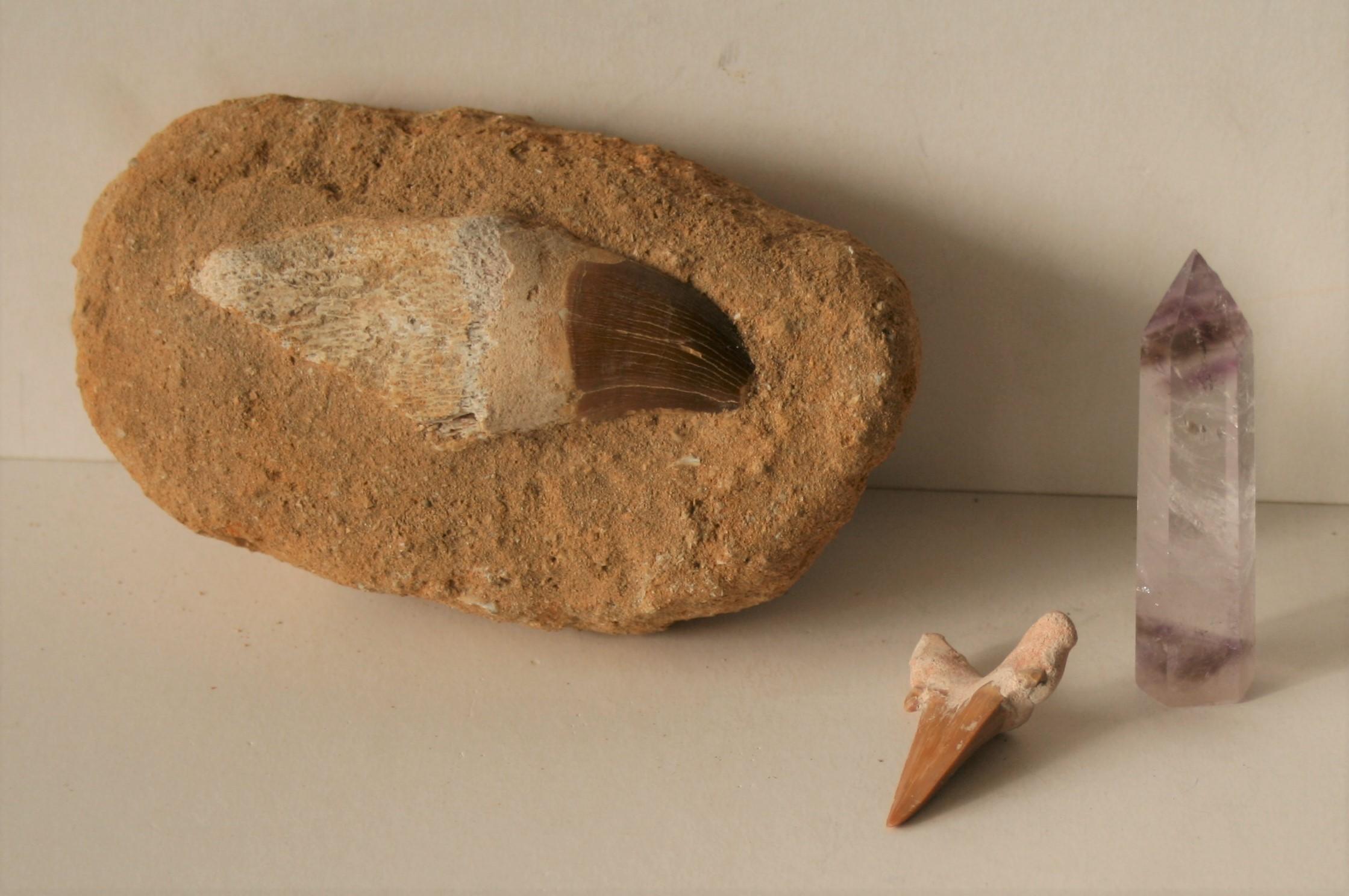 Ensemble de 2 dents fossilisées de MOSASAURUS (110 millions d'années) dont une ans [...]