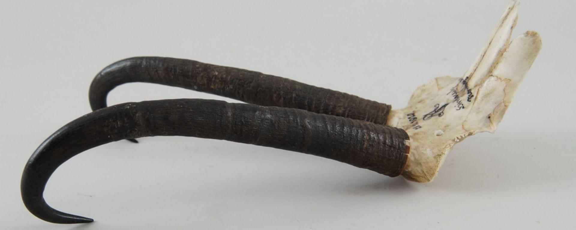 Langes Gamskrickerl, datiert 1920, 27 cm - Bild 5 aus 5