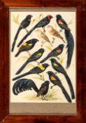 Bürger, W. (20. Jh.)Prachtfinken, Witwenvögel und SperlingeDrei Tafeln mit jeweils 13 bis 18