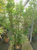10 x Ligustrum ovalifolium hedging plants 1.5m high