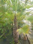 1 Trachycarpus fortunei