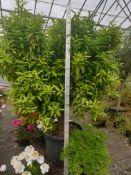 1 Mandarin tree - Really mature specimin plant
