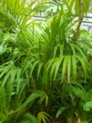 Kentia Palm - Tropical plant 1.8m tall