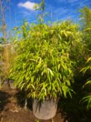 1 Pseudosasa japonica - good big plant