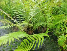3 x mixed native hardy ferns