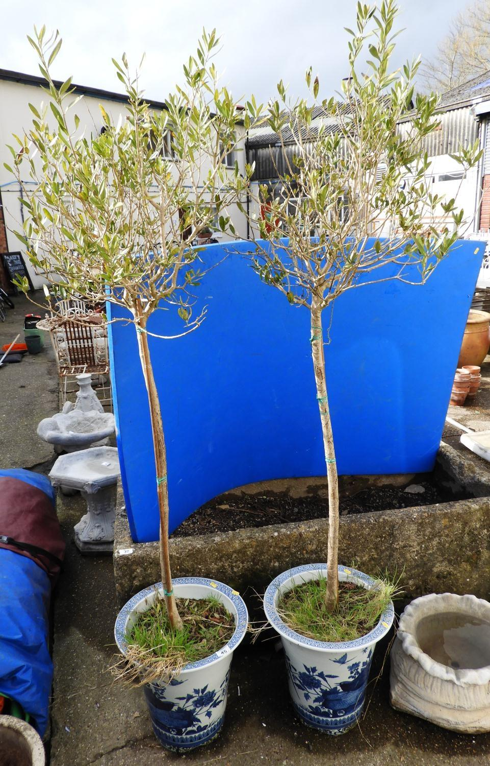 Lot 45 - Pair of Blue and White Chinese Planters and Contents - Shrubs
