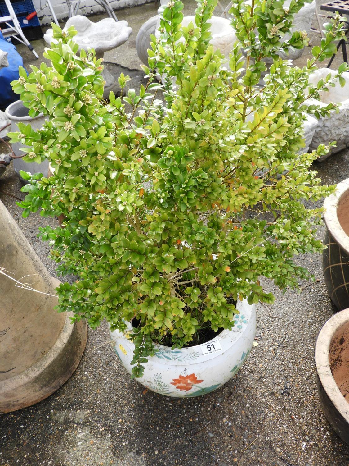 Lot 51 - Glazed Chinese Pot and Contents - Shrub