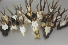 Taxidermy: a group of twenty roe deer antlers and skulls, some with jaws and some mounted on