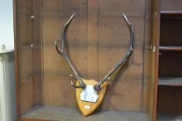 A wall mounted shield mounted with a pair of eight pointer stag's horns (h.82cm x 59cm)