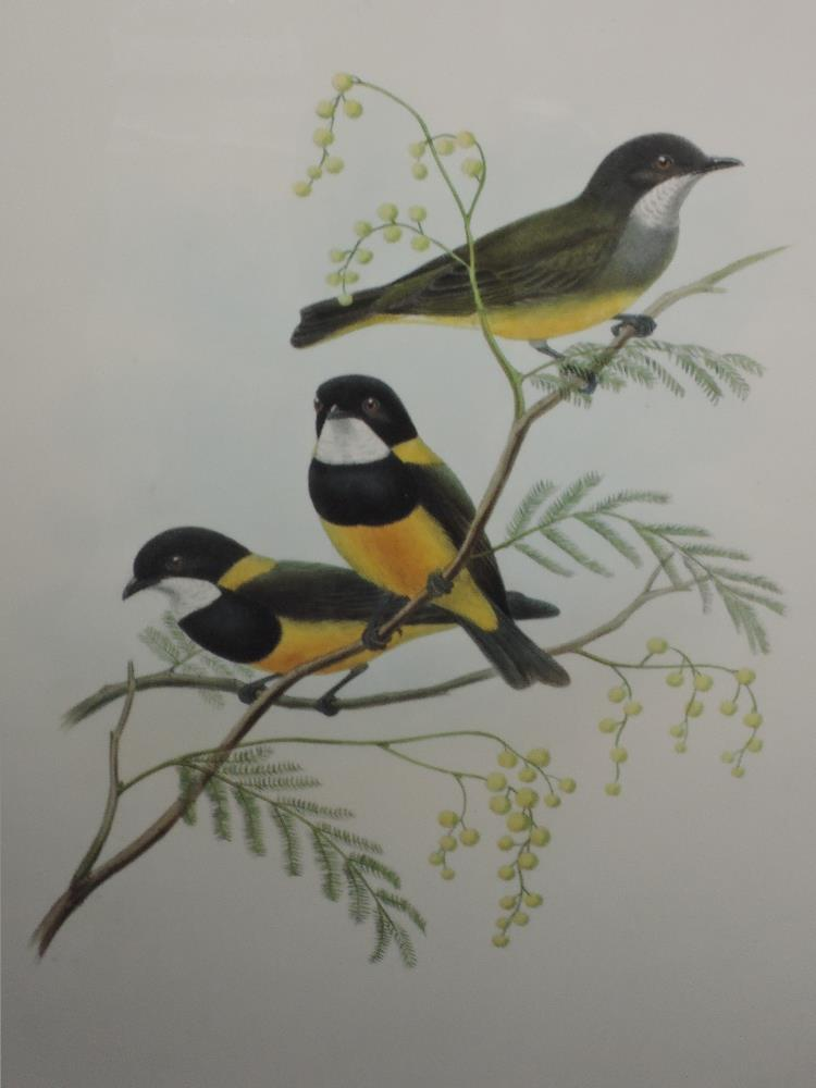 Lot 380 - Two lithographic prints, after Gould & Hart, bird studies, Pachycephala Schlegeli, and Alca Torda,