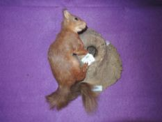 A taxidermy red squirrel poised on knotted tree mount.