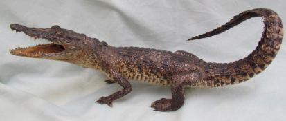 Taxidermy - A juvenile crocodile, with tail raised and jaws agape,