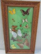 Taxidermy - Mounted and framed butterfly specimens together with butterfly wing pictures,