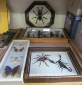 Taxidermy - blue black bird eating spider together with another spider, scorpions,
